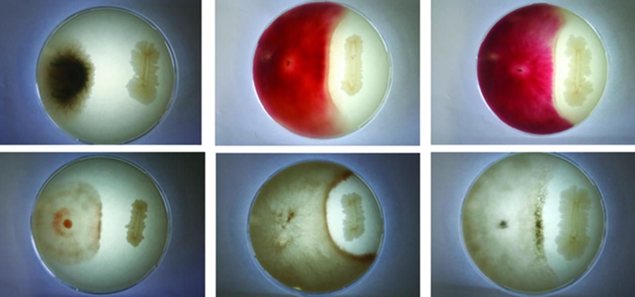 Bacillus Subtilis showing resistance