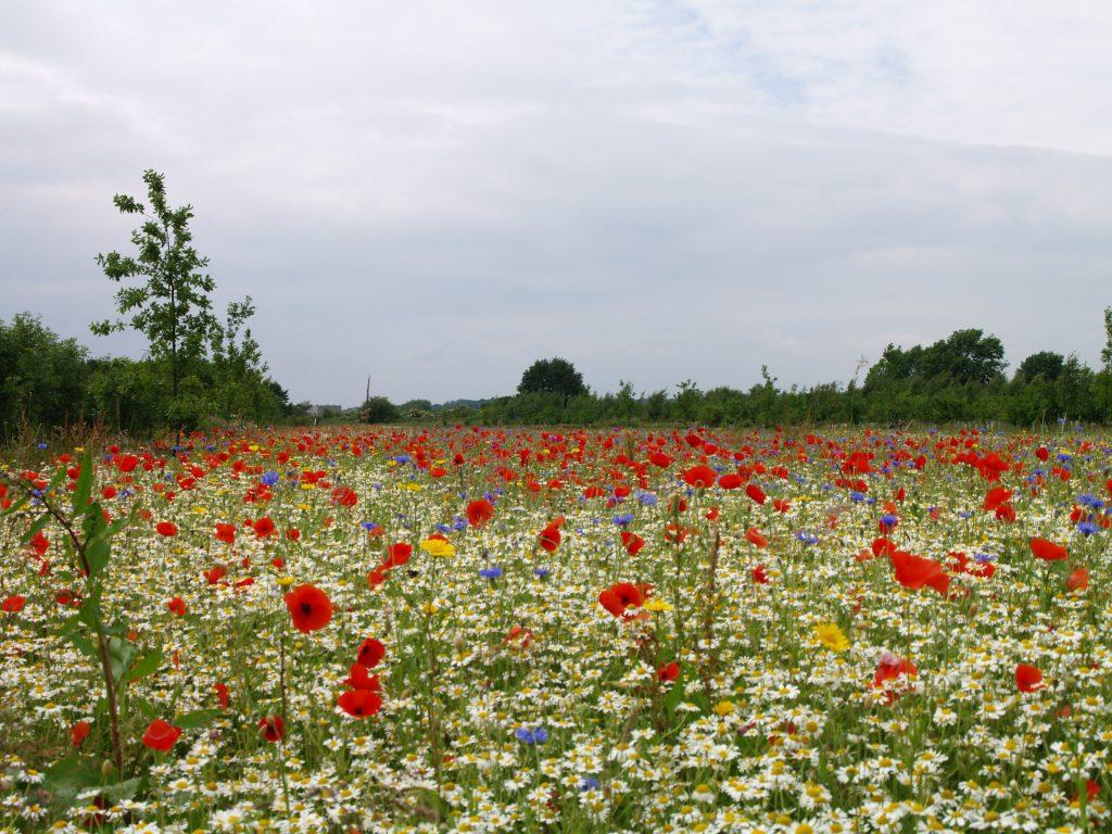 wildflower meadow management