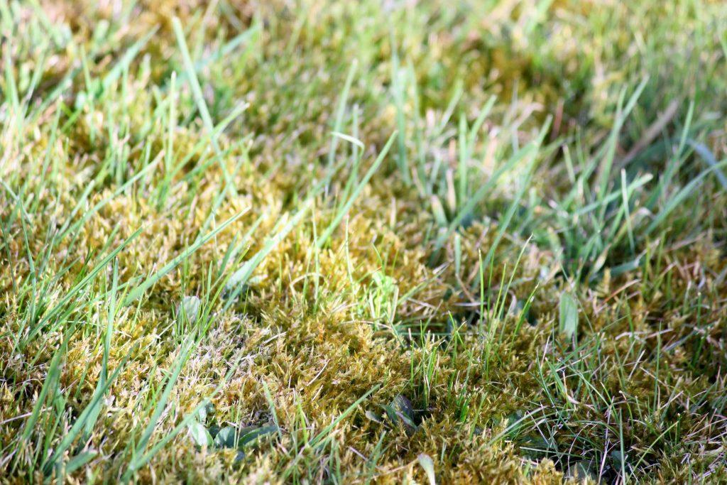 moss in fine turf lawns